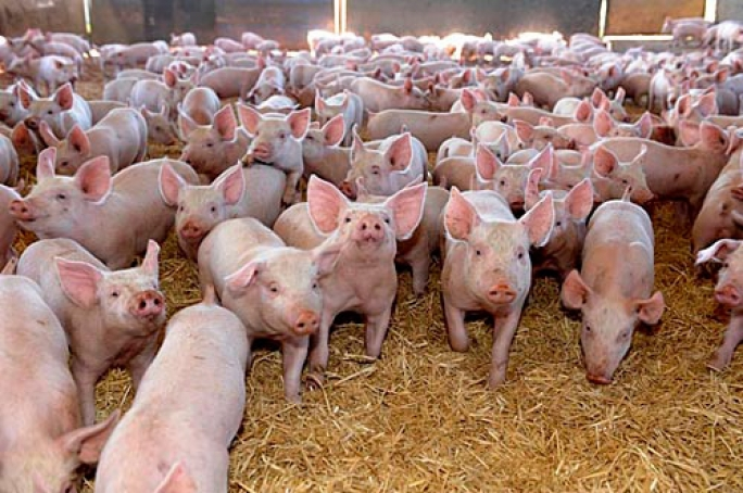 PIGGERY AND PORK PRODUCTION BUSINESS PLAN IN NIGERIA