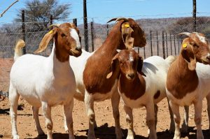 GOAT REARING & BY-PRODUCTS